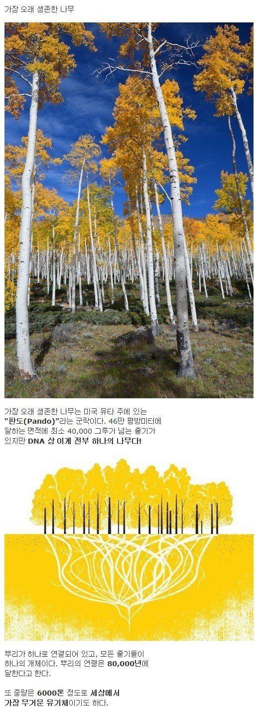 가장 오래 샘존 나무 가장 오래 샘존 나무 미국 뮤타 판도 군락 평방미터 면적 최소 그루
