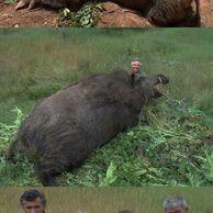 미국에서 헬기로 멧돼지 사냥이 허용된 이유.gif