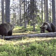 숲에서 마주친 곰 두 마리