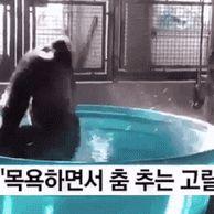 목욕하면서 춤 추는 고릴라