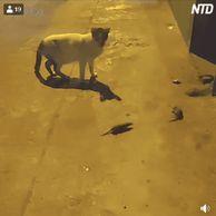 길가던 고양이도 멈추게하는 쥐싸움.GIF