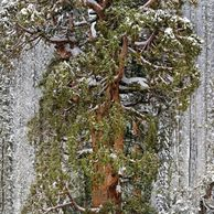 미국에 있는 3,200살 나무의 위엄